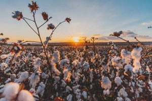 Turkish cotton field